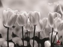 фототапети на хартия с черно-бели лалета