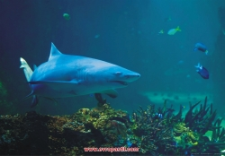 фототапети с акула