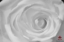 фототапети на нежна бяла роза отблизо