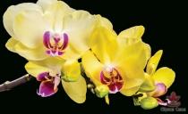 фототапети  жълти орхидеи
