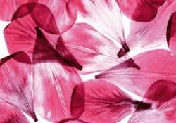 цикламени нежни листенца