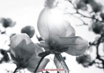 фототапет черно бели цветя