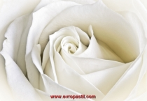 фототапети голяма бяла роза
