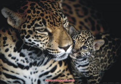 фото тапети  с животни леопарди