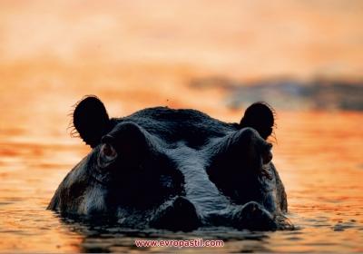 фототапет голям хипопотам