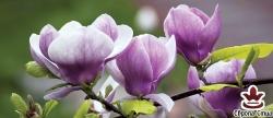 фототапет панел с красиви лилави лилиуми