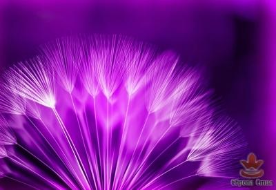 фототапет с глухарче в лилаво