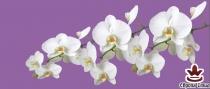 фототапет панел с прекрасни бели орхидеи на лилав фон