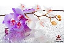 фототапети  клонка лилаво бели орхидеи