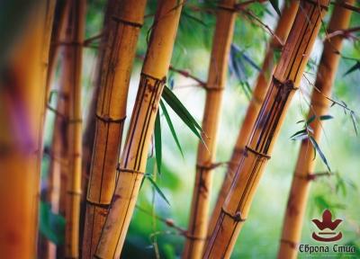 постер бамбук
