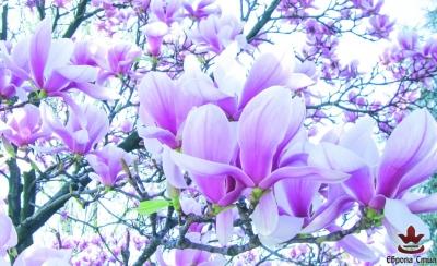 фототапети с лилаво-бели магнолии